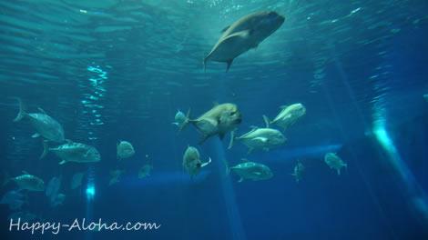 トンネル水槽の魚