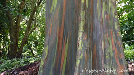 ユーカリの樹