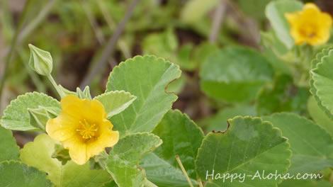 イリマの花