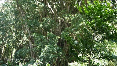 マノア渓谷のバニヤンツリー