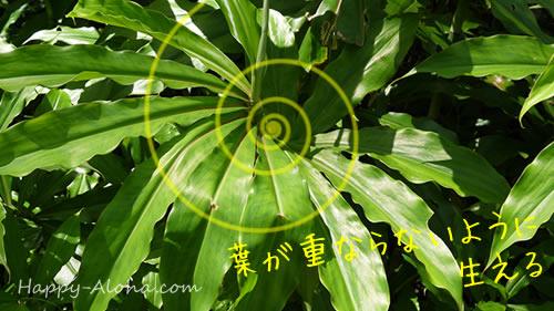 螺旋の葉っぱ植物