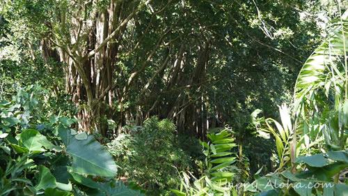 マノア渓谷の木々