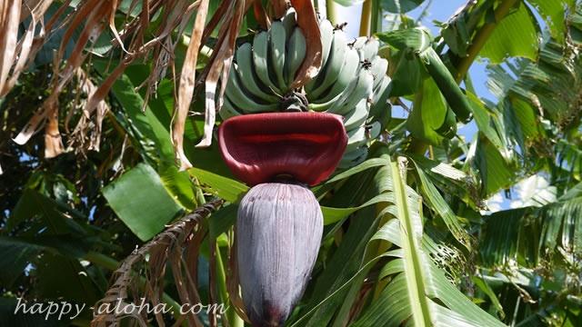 バナナの樹