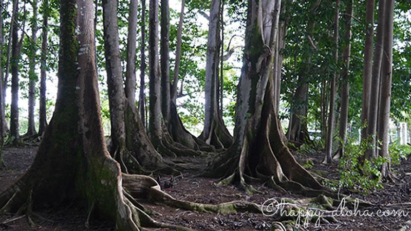 菩提樹の根