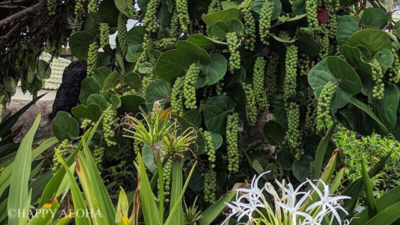 ブドウのような植物