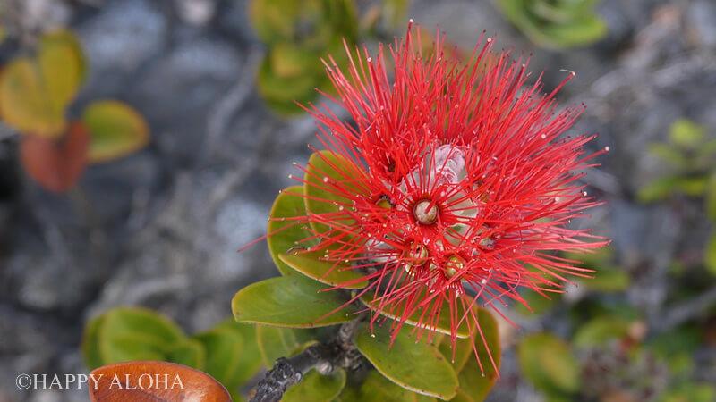 オヒアレフアの花