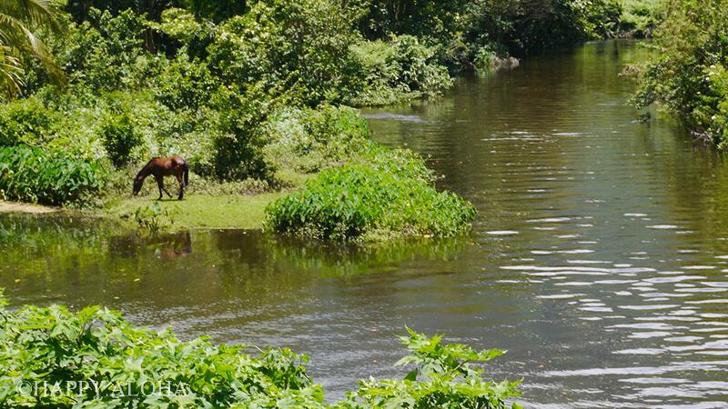 ワイピオ渓谷の野生の馬